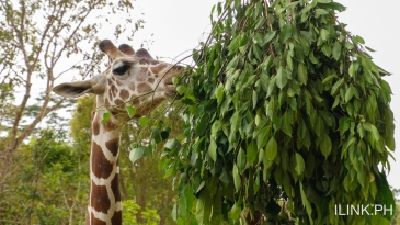 cebu safari_giraffe