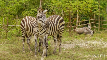 cebu safari and adventure park_zebras
