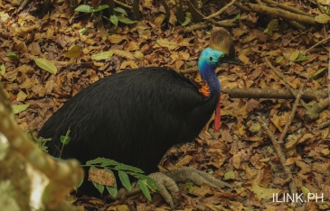cebu safari_cassowary